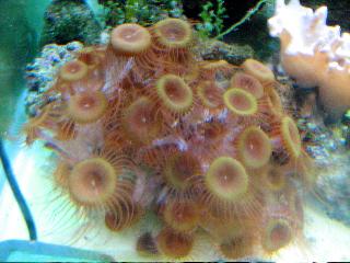 Zooanthus