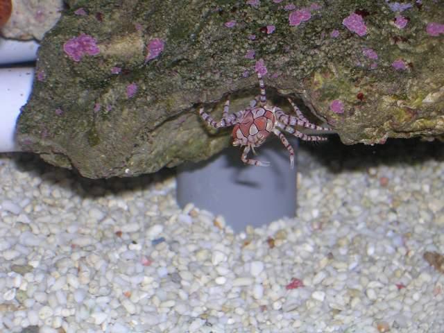crabe lybia