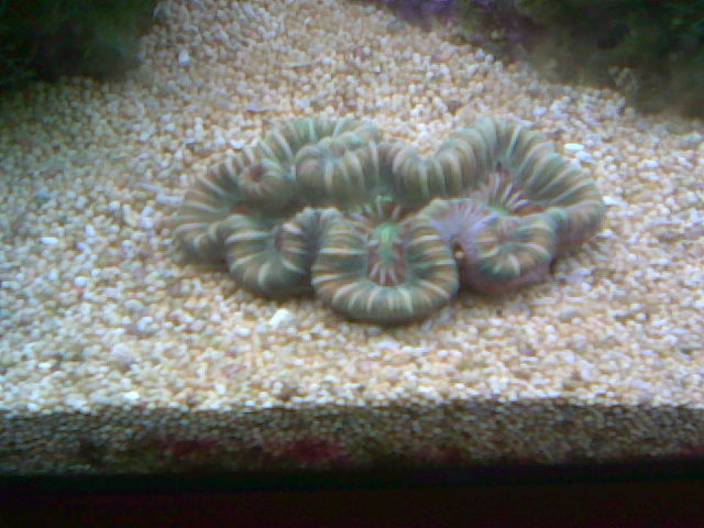 trachiphylia