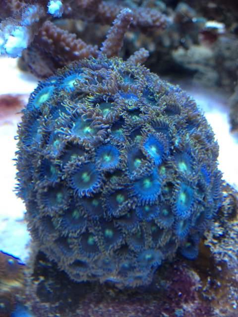 Zooantus bleus