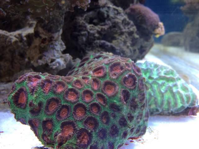 Plesiastrea bicolore