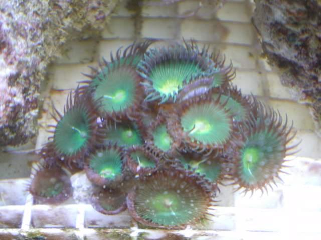 Protopalythoa