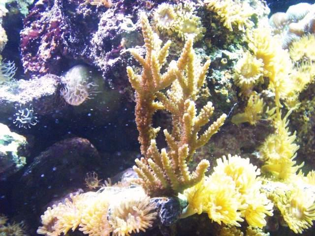corail