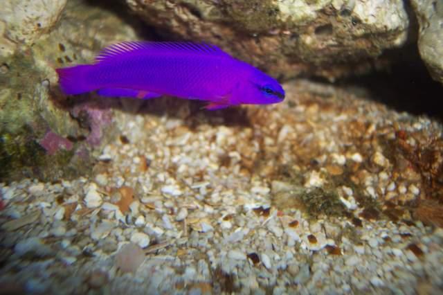 pseudochromis fridmanii