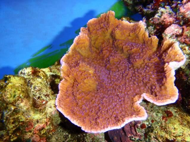 Montipora plateau violet