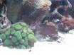 ctenochateus strigosus