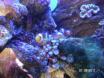 clowns dans leur corail
