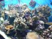 des coraux toujours des !