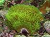 Pachyclavularia Briareum Violacea