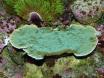 Montipora plateau vert