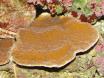 Montipora plateau rouge