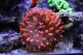 Anemone quadricolor  rouge