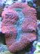 Lobophyllia