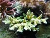 Acropora vert