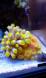 tubastrea bicouleur