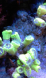 caulastrea miam