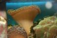 corail cuuir