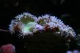 catalaphyllia glouton