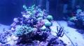 coraux dur