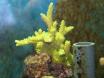 bouture coraline