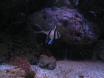 alevin pterapogon kauderni