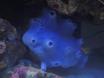 éponge bleue