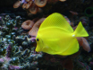 Zebrasoma flavescences