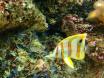 Chelmon rostratus