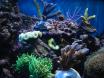 coraux sps