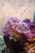 Pocillopora rose polypes verts