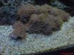 un coraux ?