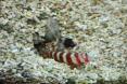 poissons GOBIE
