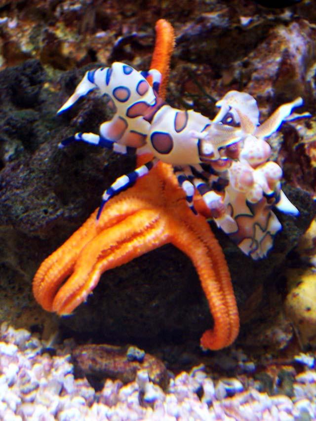 Crevettes Arlequin - Hymenocera Picta