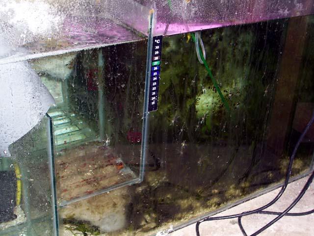 Elevage Pterapogon Kauderni à l'Aquarium du Grand Lyon