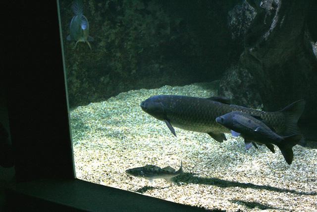 Le bac de nos rivières : carpes miroir et commune