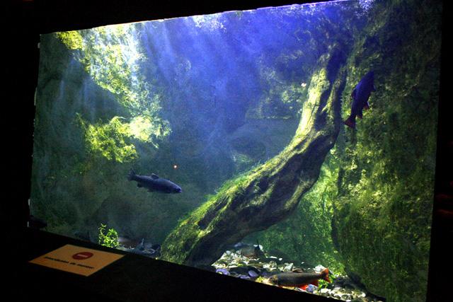 Le bac des salmonidés avec des truites, des saumons de fontaine et des ombles chevaliers