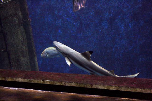 L'épave aux requins : requin pointes noir