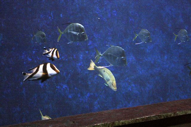 L'épave aux requins : Un banc de Selene vomer, un Lutjanus argentiventris ou Vivaneau à queue jaune, et deux beaux Lutjanus Sebae(Lutjan rouge)