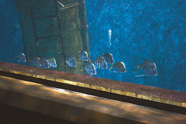 L'épave aux requins : Un banc de Selene vomer (Poisson miroir - carangue lune)