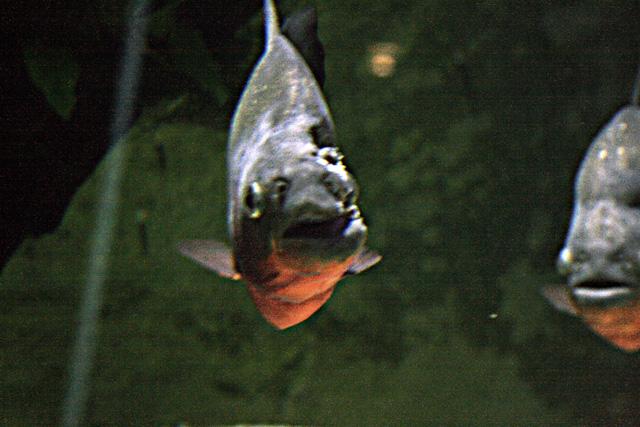 Le bac des Pirhana de l'aquarium du grand lyon