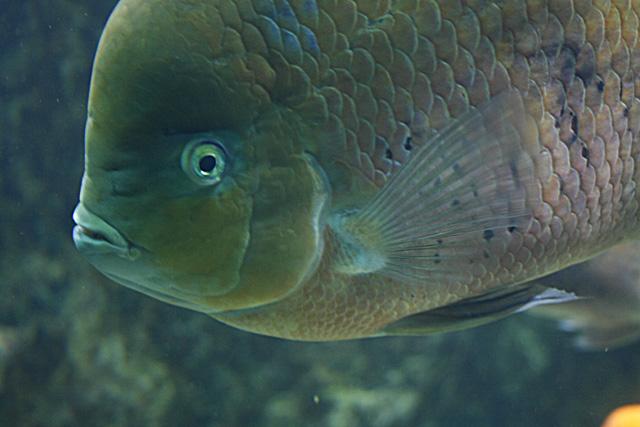 Le bac des Cichlidés d'amérique du sud de l'aquarium du grand lyon