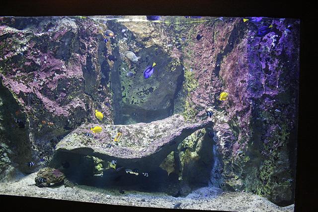 Hepatus, des Flacescens, un Desjardinii : aquarium du grand lyon