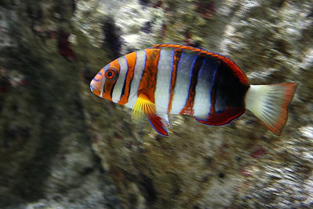Choerodon fasciatus : Aquarium du grand lyon