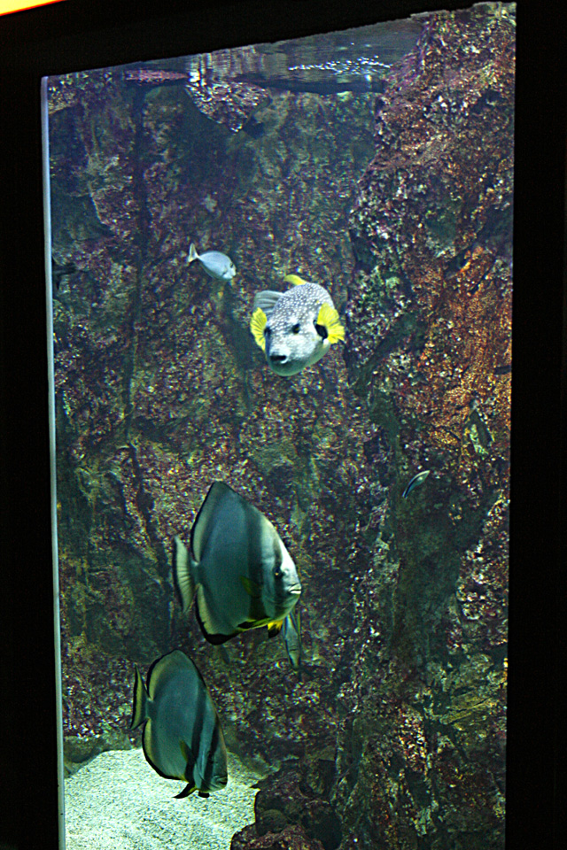 Tetraodon et Platax : Aquarium du grand lyon